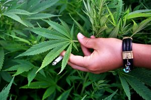 Hand against marijuana plant