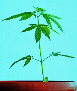 Green marijuana plant in a terracotta pot on a blue background